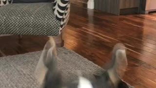 Black and white puppy runs into camera - Video