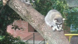 Unexpected encounter with a raccoon