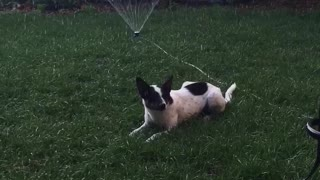 Black and white dog casually chilling on grass in front of sprinkler - Video