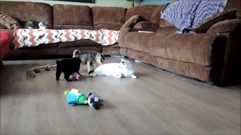 Owner Films The Moment Her 6-Week-Old Foster Puppies Meet Her Very Patient Cat