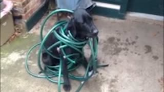 Dog Gets Tangled Up In Trouble - Video