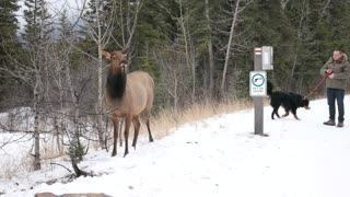 I just want to make friends with the elk  - Video