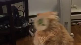 Cat sticker face falls off table - Video