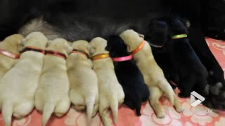 Puppies feeding time