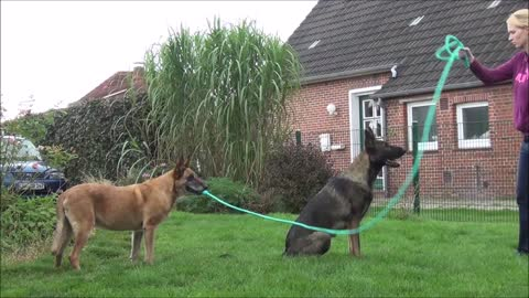 Pooch Holds The Rope With The Help Of His Owner, So His Brother Can Learn To Jump