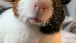 Guinea Pig Making Funny Sounds