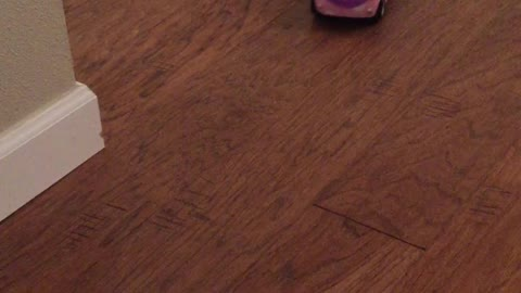 Hamster goes for thrilling ride on remote control car