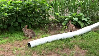 Curious Yard Bunnies  - Video