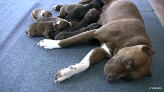 Cute Pit Bull Puppies Breast Feading From Mother