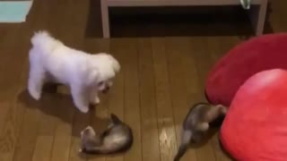 2 Ferret Scare A little Dog With Them At Home