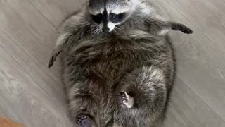Pet Raccoon Receives a Large Loaf of Bread