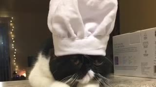 Black cat with white chef hat on