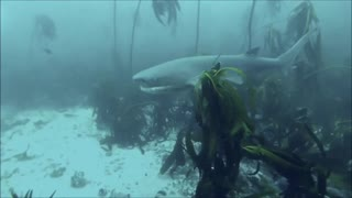 Scuba diving with dozens of sharks in South Africa