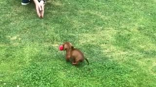 Adorable 9-Week-Old Puppy Is Already A Pro At Fetch - Video