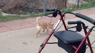 Chihuahua Accidentally Steals Walker From Owner - Video