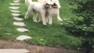 my twin dogs running after bone