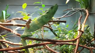 Green chameleon dancing in her cage