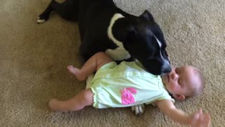 Pit Bull preciously grooms adorable little baby - Video