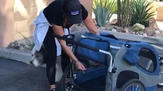 Big white dog crawls into blue stroller to be pushed - Video