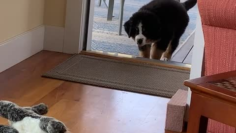 Bernese puppy stalks and pounces on stuffed animal