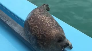 Seal pup adorably performs tricks for treats