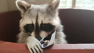 Raccoon received an allowance from his sister.