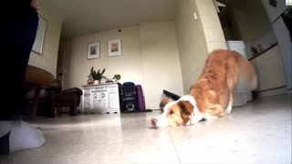Dog dancing - funny dog videos - Video