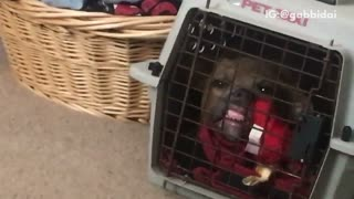 Pitbull teeths square cage - Video