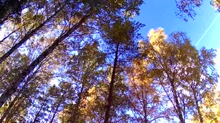 Beautiful autumn birch forest  - Video