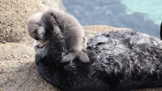 Momma Sea Otter and 1 Day Old Pup - Video