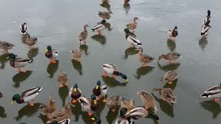 Feeding Ducks on a Frozen Lake - Video