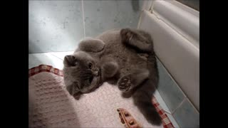 Cute kitten plays catch his fluffy tail in bathroom
