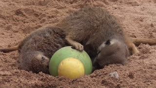 Meerkats collapse after intense search for food - Video