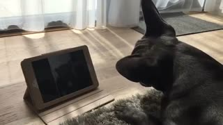 French Bulldog video calls his girlfriend