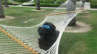 Black dog wearing blue glasses sticking tongue out  - Video