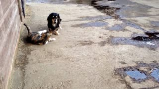 Schnitzel the dachshund playing with flossy the cat. - Video