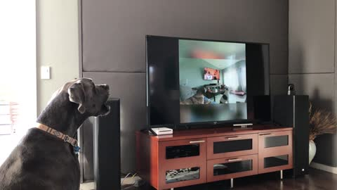 Great Dane howls at other dogs howling on TV
