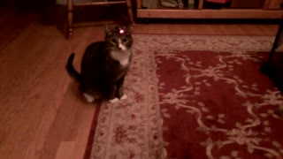 Cat chasing a Laser, with a twist!! - Video