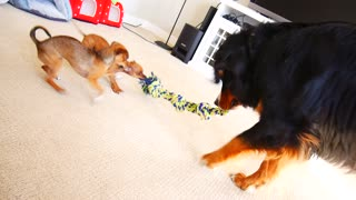 Chihuahua puppies shockingly defeat giant dog in tug-of-war - Video