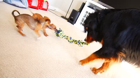 Chihuahua puppies shockingly defeat giant dog in tug-of-war