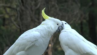 Big white parrot birds caress each other