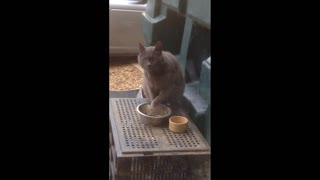 Funny cat eats food like a human