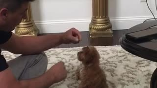 Brown puppy on white carpet reaches for treat and falls backward - Video