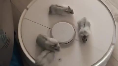 Hamsters go for ride on robot vacuum