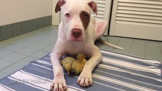 Rescue puppy watches over his foster ducklings - Video