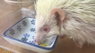 Hedgehog After The End of Food Meal  - Video