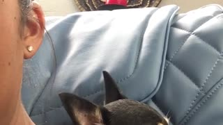 Small dog loves blue massage chair