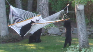 Bears Playing On A Hammock - Video