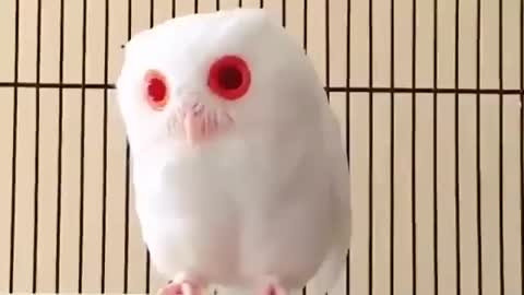 Red eyed owl