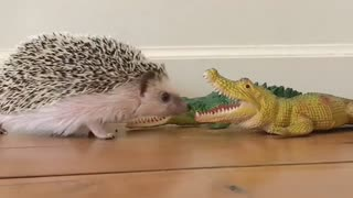 Fearless hedgehog eats snack from crocodile's mouth